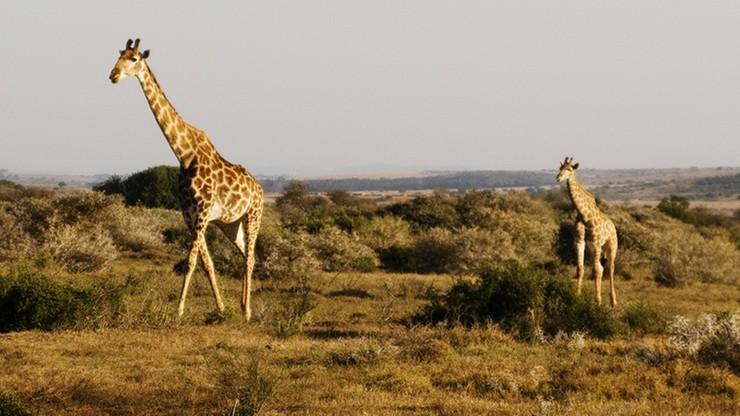 Matka i dziecko w stanie krytycznym. Zaatakowała ich żyrafa w rezerwacie