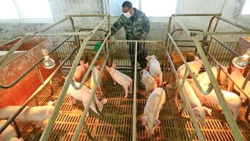 """Nowy szczep grypy w Chinach. Przenoszą go świnie i """"ma potencjał pandemiczny"""""""