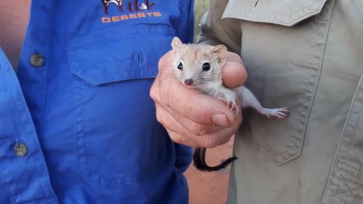 Naukowcy znaleźli ssaka, który miał wyginąć niemal 100 lat temu. Zamierzają odtworzyć jego populację