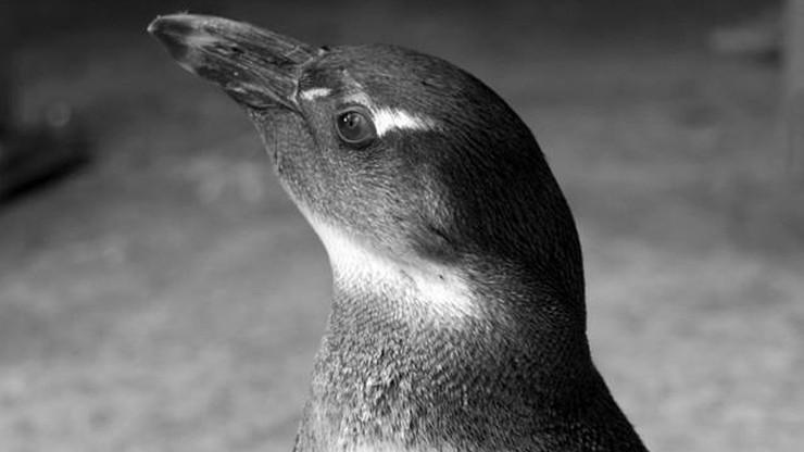 W zoo we Wrocławiu jenot zabił 5 pingwinów