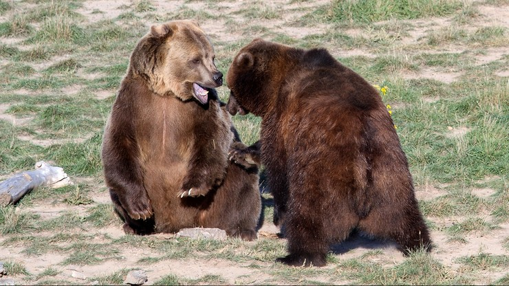 Anglia. Niedźwiedzie wydostały się z wybiegu w zoo i zaatakowały dzika. Zostały zastrzelone