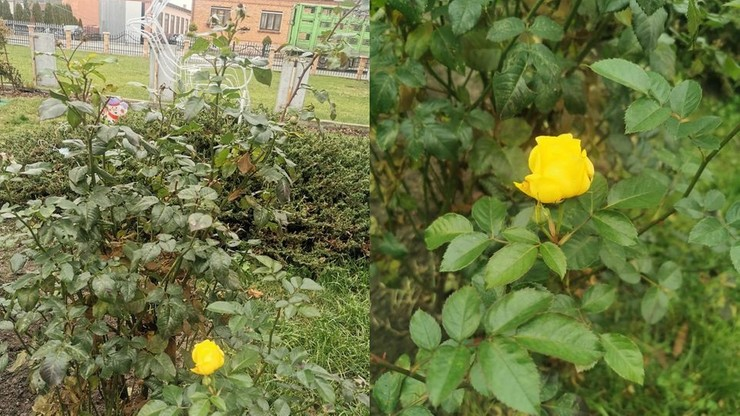 Kwitną róże, stokrotki, rozwijają się bazie. Wiemy, jaka pogoda będzie w święta i ferie