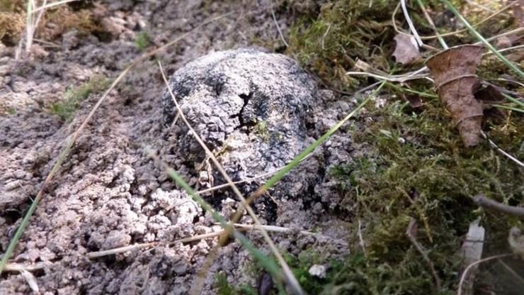 Trufle z polskiej uprawy - naukowcy zebrali pierwsze grzyby po 8 latach od założenia ogrodu