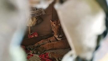 Tygrys wszedł do domu i zasnął na łóżku. Chronił się przed deszczem