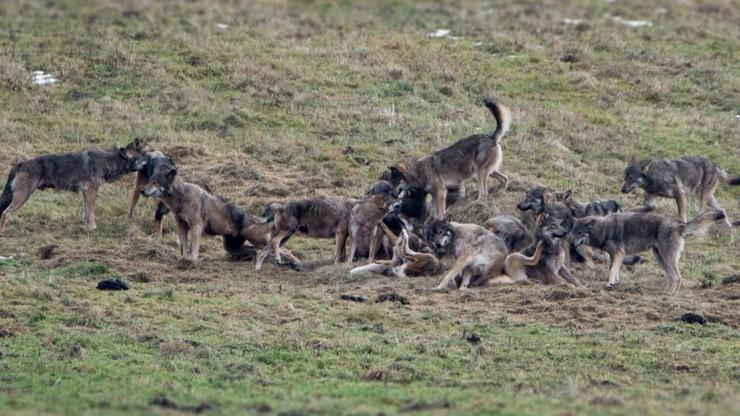 """Wyjątkowo liczna wataha wilków w Bieszczadach. """"Było ich trzy-cztery razy więcej niż zazwyczaj"""""""