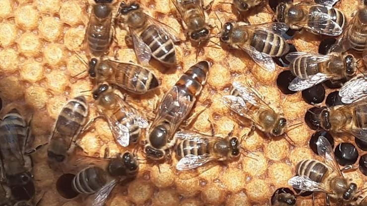 Ktoś ukradł około pół miliona pszczół. Właścicielka: ryczałam cały dzień