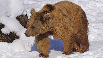 W Bieszczadach obudziły się niedźwiedzie. Lepiej nie schodzić ze szlaków