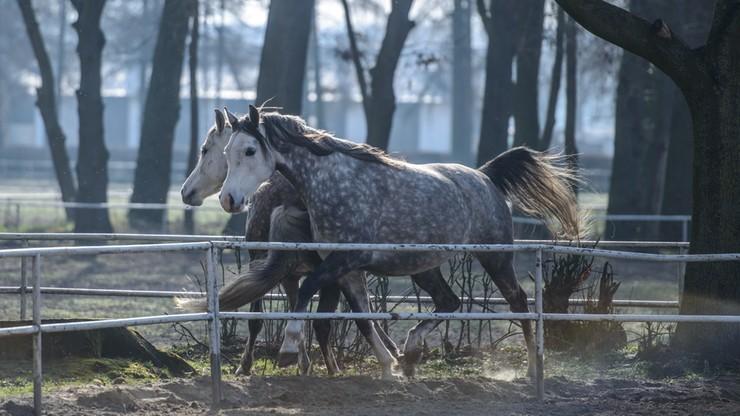 Hodowcy: zmiany w stadninach godzą w podstawy hodowli koni arabskich