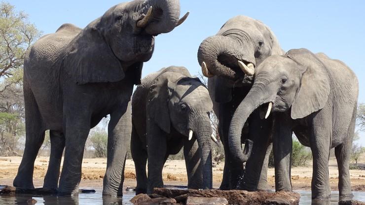 W Polskim banku zapachów będzie można wąchać fetor... odchodów słonia