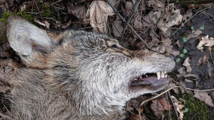 Wilk jest gatunkiem objętym ochroną gatunkową