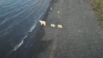 Niedźwiedzica z młodymi w pobliżu lotniska i barki atomowej [WIDEO]