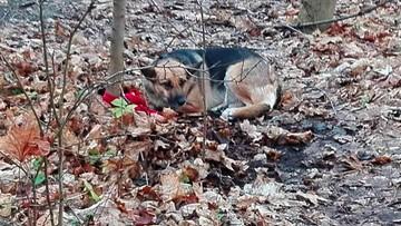 Pies przywiązany na krótkiej smyczy do drzewa, strasznie cierpiał. Ustalono właściciela. To kobieta
