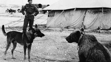 Niedźwiedź Wojtek - żołnierz, który zjadał 300 jabłek dziennie