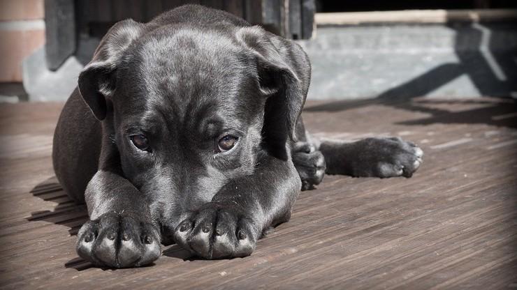 Legnica: wyrzucił obcego psa z 9. piętra. Bo go zdenerwował