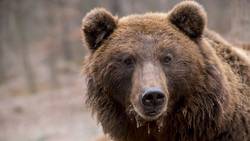 Urzędnicy z Pilzna ostrzegają mieszkańców. W okolicy był widziany niedźwiedź