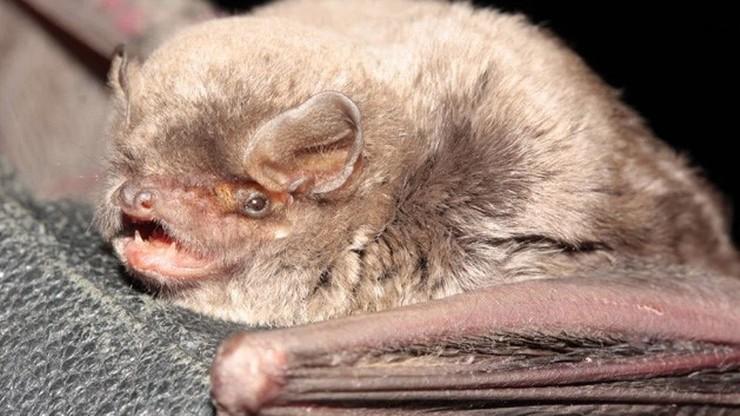 W Polsce odkryto nowy gatunek nietoperza