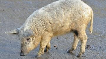 Nieoczekiwany gość na Gali Mistrzów Sportu. Poznajcie węgierską świnkę mangalicę!