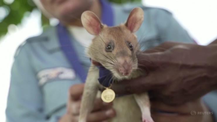 Kambodża. Szczur-saper odchodzi na zasłużoną emeryturę