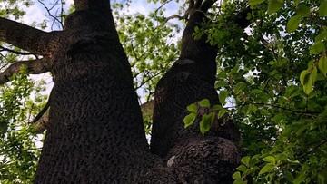 """Stuletni jesion został uszkodzony. """"Świadome działanie, żeby zabić drzewo"""""""