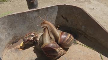 Plaga afrykańskich ślimaków na Kubie. Naukowcy są bezsilni