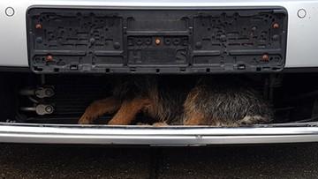 Pies cudem przeżył wypadek. Przejechał w zderzaku około 40 km