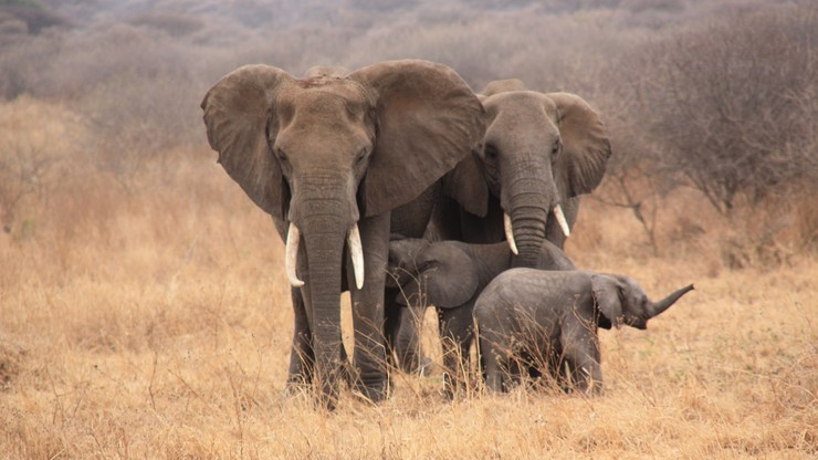 Aresztowano kłusownika, który zgromadził kły lub części kłów 117 słoni