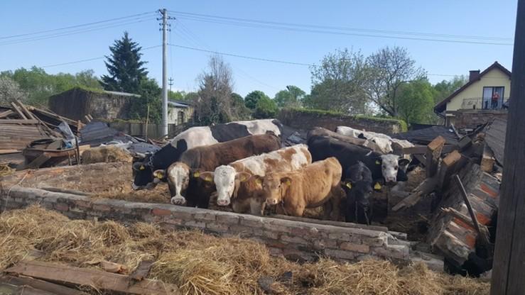 Cyk: zawaliła się stodoła. W środku krowy
