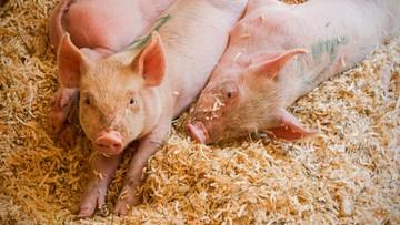 Może być rewolucja w hodowli świń. Ostre restrykcje