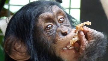 Trzecie urodziny szympansa Tytusa. Feta w warszawskim zoo