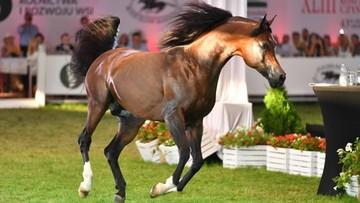 """14 koni sprzedanych za 1,6 mln euro. """"Widać »wygłodnienie« na rynku"""""""