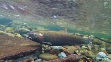 Z hodowli uciekło 690 tys. łososi. Rybom należącym do norweskiej firmy podawano groźne antybiotyki