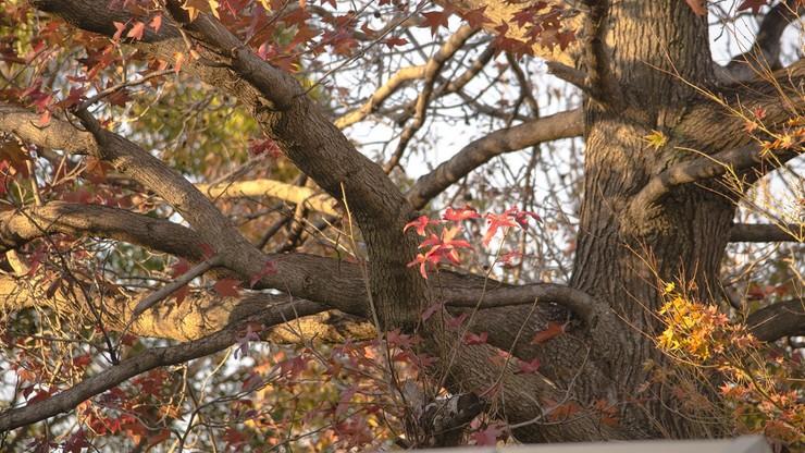 Walka o 300-letni dąb. Władze miasta wykupią dom z działką, by chronić najstarsze drzewo