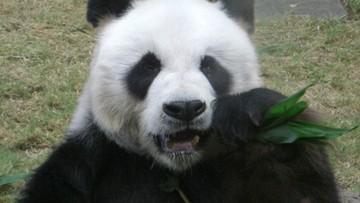Finlandia otrzymała od Chin dwie pandy na 100-lecie niepodległości