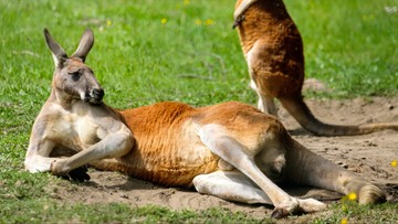 Koszykarz Milwaukee Bucks zainwestował w zoo safari. Ma w nim zebry, łosie i kangury