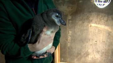 Pingwin Janush - pierwszy taki we wrocławskim zoo
