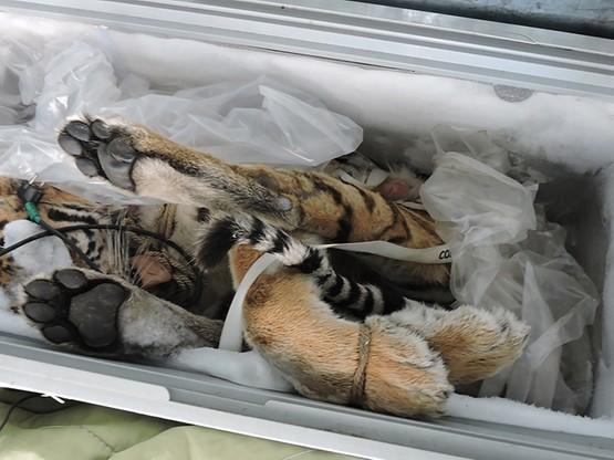 Na świecie żyje mniej niż 600 tygrysów amurskich