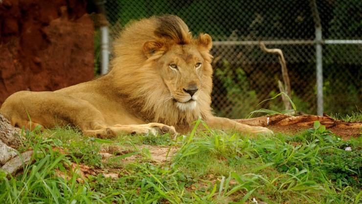 Zginął zaatakowany przez lwa, którego trzymał w ogrodzie