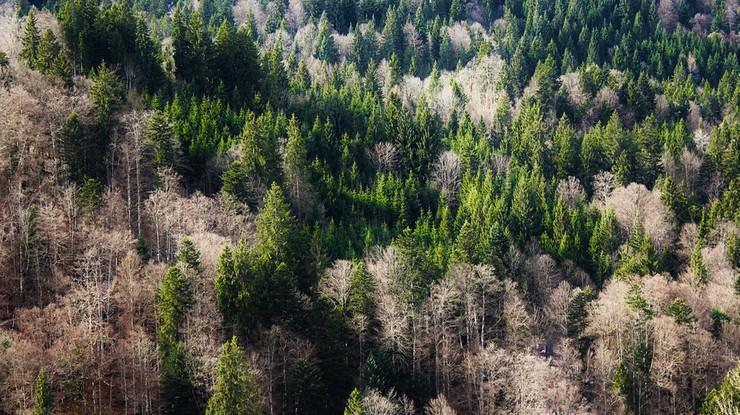 """Niemcy wycinają lasy z powodu kornika. """"Tam można prowadzić racjonalną politykę leśną"""""""
