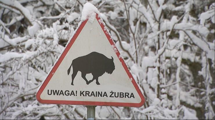 Białowieża: trwa liczenie żubrów w puszczy