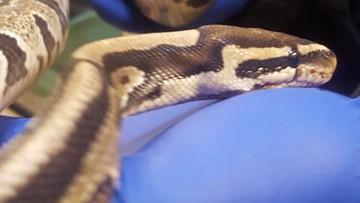 Remontował swoje mieszkanie w bloku w Warszawie, pod kanapą znalazł węża
