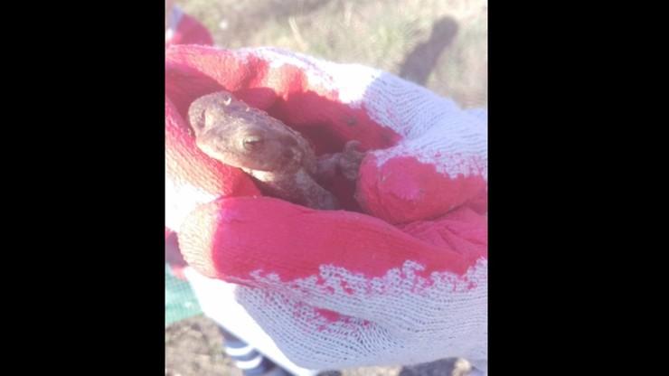 Lublin szuka ochotników do ratowania żab