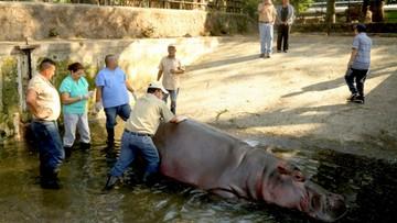 Hipopotam Gustavito pobity na śmierć. Był ulubieńcem mieszkańców Salwadoru