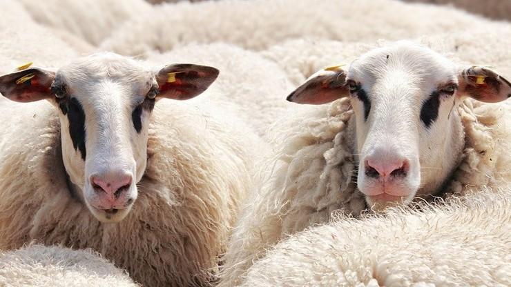Na Morzu Czarnym przewrócił się statek z 14 tys. owiec