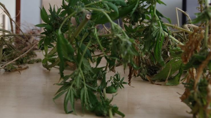 Uprawa konopi indyjskich w centrum Częstochowy. Policjanci odkryli ją w mieszkaniu