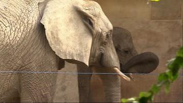 Słonie w zoo dostaną konopie, by się odstresowały