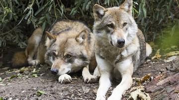 Mieszkańcy Mosiny obawiają się wilków. Apelują do burmistrza i gminy