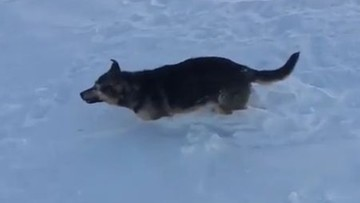 Jest tak zimno, że zwierzęta zamarzają żywcem. Arktyczna zima w Kazachstanie