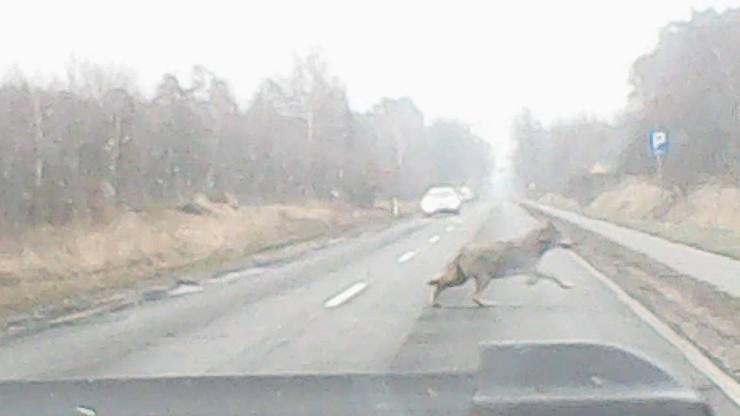 Wilk przebiegł przez drogę w Lubuskiem. Nagrała go kamera w samochodzie