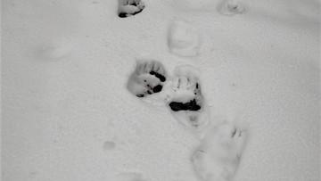 """Tropy niedźwiedzia na polsko-słowackiej granicy. """"Nie drażnij misia wiosną"""""""