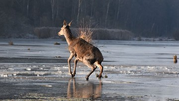 Na ratunek młodemu jeleniowi. Utknął na lodzie